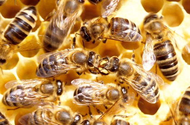 Honigbienen, Futteruebergabe auf der Wabe
