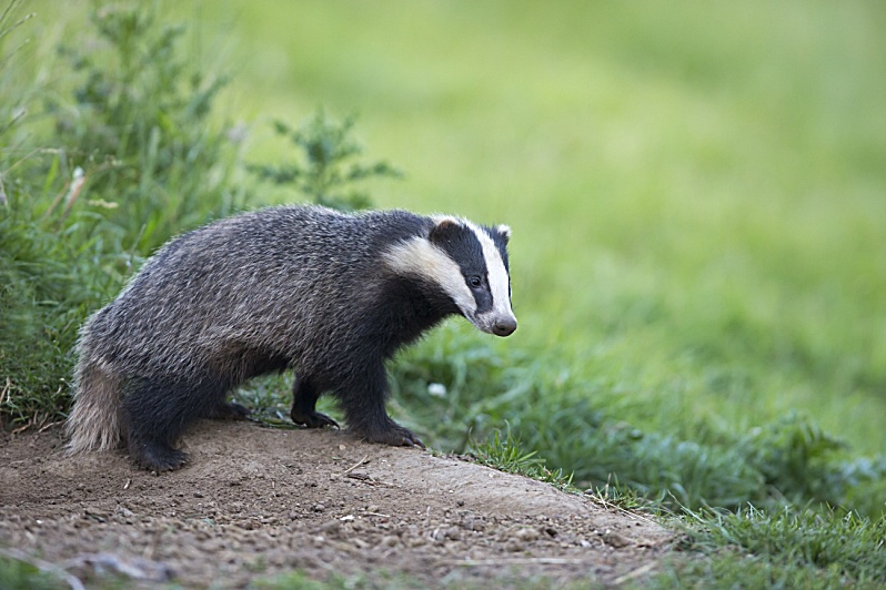 Badger close to its set at spring GB - - -